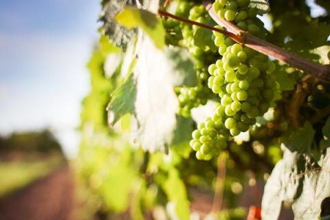 יין לבן- זני ענבים